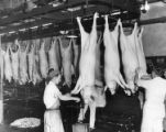 Slaughtered pigs being shaved