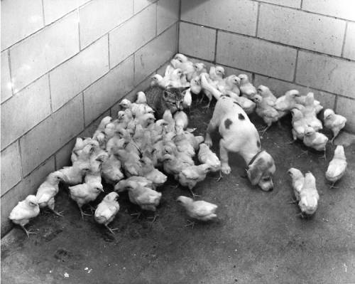 100 baby chicks up for adoption